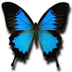 Tatoo temporaire papillon Morpho réaliste