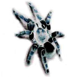 Tatoo temporaire tarentule bleue